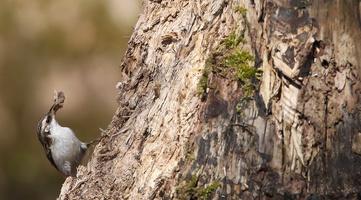 Grimpereaux des Bois