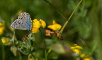 Papillon-bleue le bleu nacré